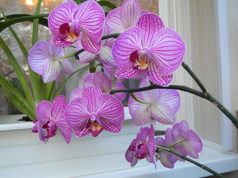 Что делать, чтобы зацвела орхидея Цветы орхидеи 1
