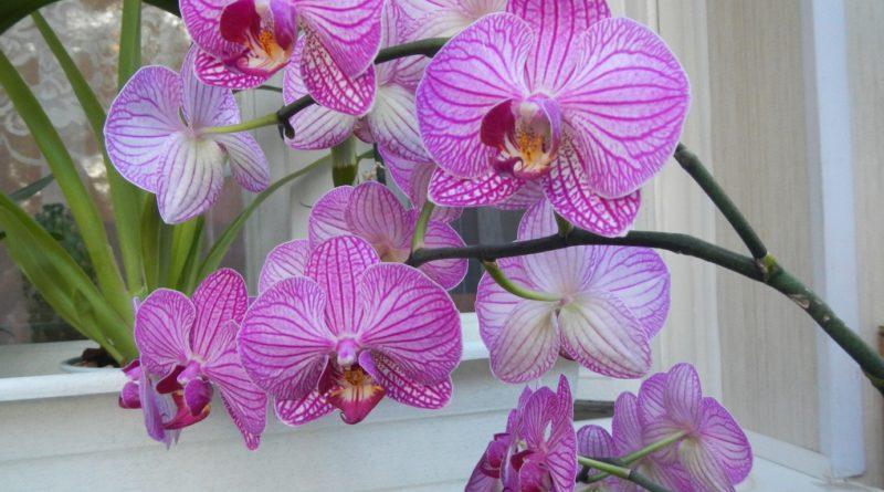 Фаленопсис (орхидея) в домашних условиях